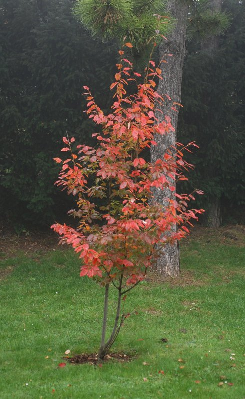 treefinder amelanchier arborea robin hill. Black Bedroom Furniture Sets. Home Design Ideas